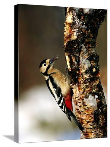 Great Spotted Woodpecker-Mark Hamblin-Stretched Canvas Print