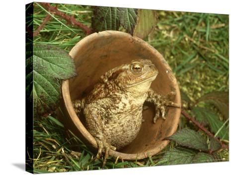Common Toad, Sitting in Clay Flower Pot, Sheffield-Mark Hamblin-Stretched Canvas Print