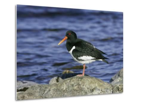 Oystercatcher, Adult Standing on Rock, Scotland-Mark Hamblin-Metal Print