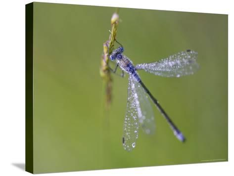 Blue-Tailed Damselfly, Male on Grass Stem, Scotland-Mark Hamblin-Stretched Canvas Print