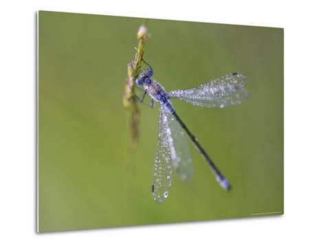 Blue-Tailed Damselfly, Male on Grass Stem, Scotland-Mark Hamblin-Metal Print
