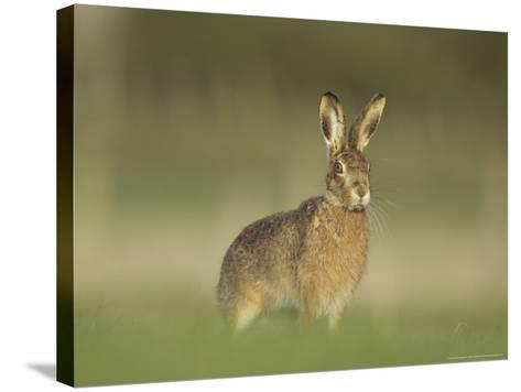 Brown Hare, Adult Alert, Scotland-Mark Hamblin-Stretched Canvas Print