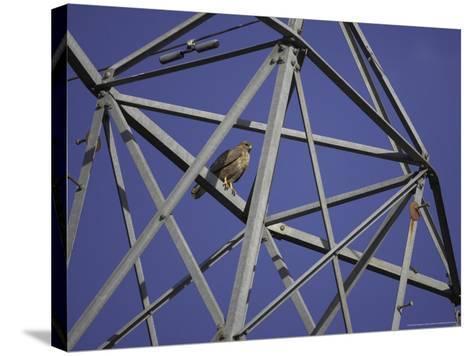 Common Buzzard, Adult on Electricity Pylon, Scotland-Mark Hamblin-Stretched Canvas Print