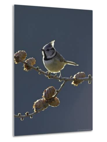 Crested Tit, Adult Backlit, Scotland-Mark Hamblin-Metal Print