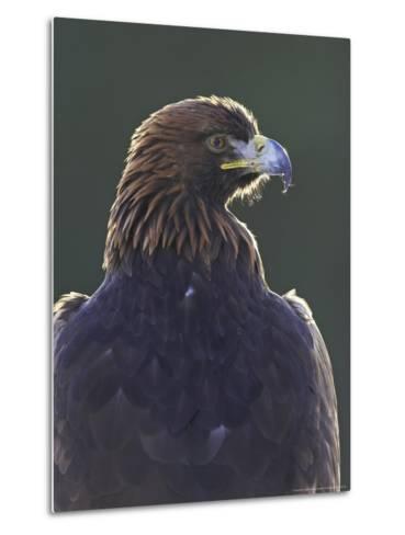Golden Eagle, Portrait of Adult, Scotland-Mark Hamblin-Metal Print