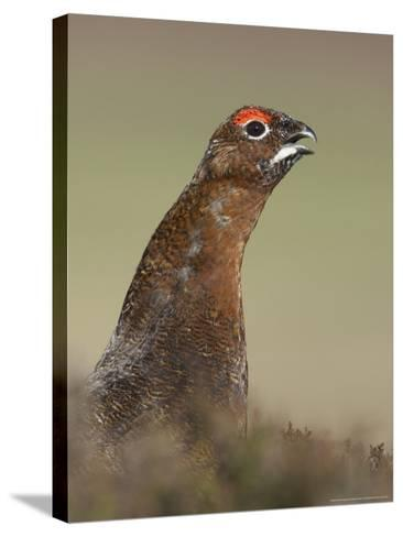 Red Grouse, Portrait of Male, Scotland-Mark Hamblin-Stretched Canvas Print