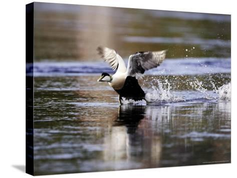 Eider, Adult Male Running Across Water Ready for Take Off, Norway-Mark Hamblin-Stretched Canvas Print