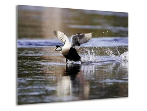 Eider, Adult Male Running Across Water Ready for Take Off, Norway-Mark Hamblin-Metal Print