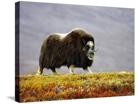 Musk Ox, Adult Female Walking Across Tundra in Autumn, Norway-Mark Hamblin-Stretched Canvas Print