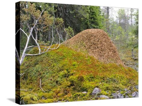 Ant Hill, Kuusamo Area, Northeast Finland-Philippe Henry-Stretched Canvas Print