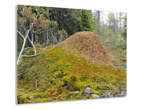 Ant Hill, Kuusamo Area, Northeast Finland-Philippe Henry-Metal Print