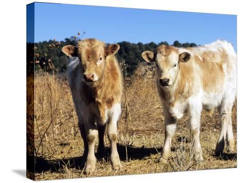 Texas Longhorn, Calves, Colorado, USA-Philippe Henry-Stretched Canvas Print
