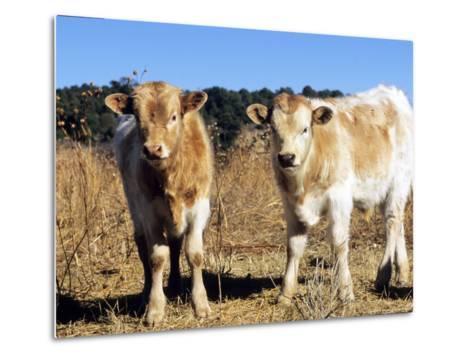 Texas Longhorn, Calves, Colorado, USA-Philippe Henry-Metal Print