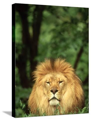 Lion, Panthera Leo Adult Male-Adam Jones-Stretched Canvas Print