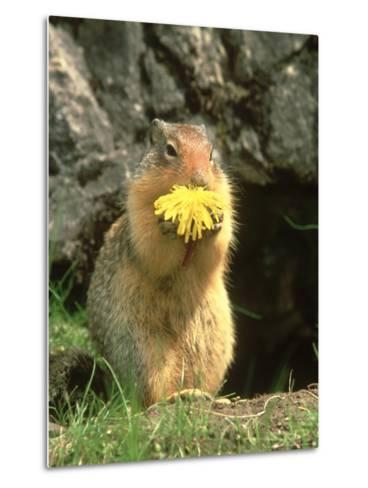 Columbian Ground Squirrel Eating Dandelion Jasper National Park, Canada-Adam Jones-Metal Print