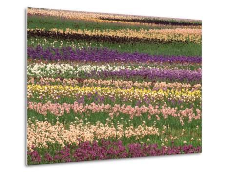 Pattern in Rows of Cultivated Iris, Oregon-Adam Jones-Metal Print