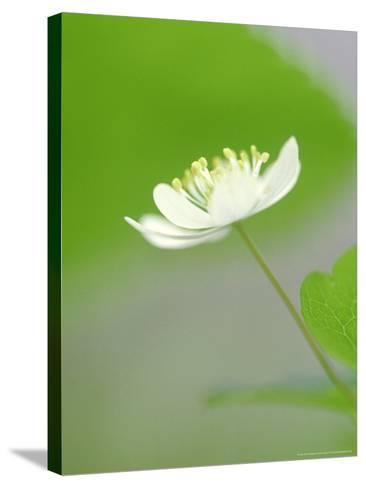 Rue Anemone, Anemonella Thalictroides Flower, Great Smoky Mtn National Park, TN-Adam Jones-Stretched Canvas Print