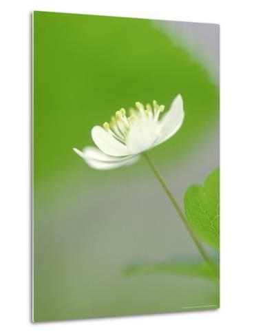 Rue Anemone, Anemonella Thalictroides Flower, Great Smoky Mtn National Park, TN-Adam Jones-Metal Print