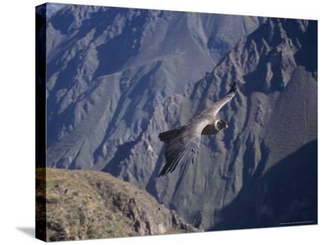 Andean Condor, Sub-Adult Male in Flight, Peru-Mark Jones-Stretched Canvas Print