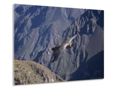 Andean Condor, Sub-Adult Male in Flight, Peru-Mark Jones-Metal Print