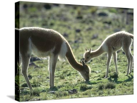 Vicuna, Mother with 3 Week Old Baby, Peruvian Andes-Mark Jones-Stretched Canvas Print
