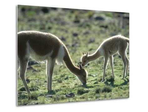 Vicuna, Mother with 3 Week Old Baby, Peruvian Andes-Mark Jones-Metal Print