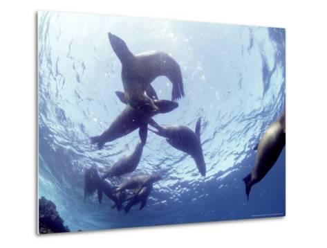 Galapagos Sea Lion, Frolicking Underwater, Galapagos-Mark Jones-Metal Print