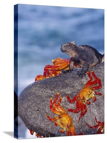 Marine Iguana & Sally Lightfoot Crabs, Mosquera Island, Galapagos-Mark Jones-Stretched Canvas Print