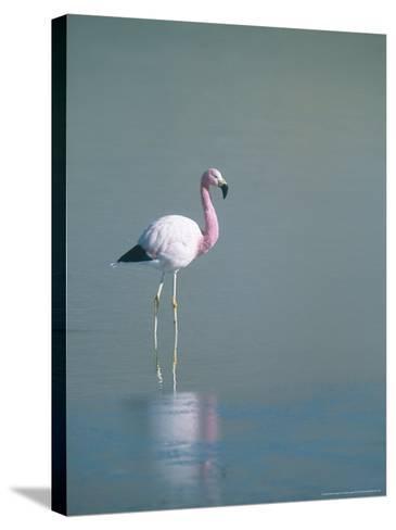 Andean Flamingo, Summer Feeding Ground, Lake Hedionda, Bolivia-Mark Jones-Stretched Canvas Print