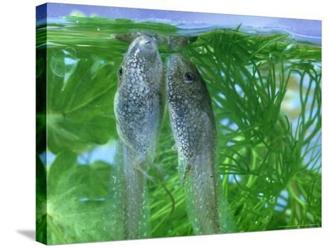 Common Frog, Tadpole-London Scientific Films-Stretched Canvas Print