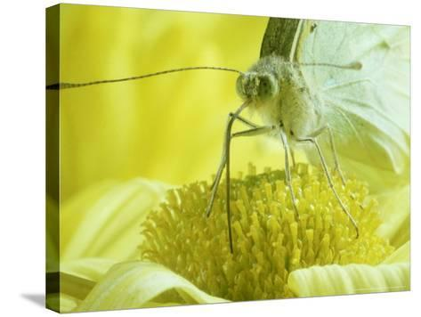 Cabbage White Butterfly, Pieris Brassicae-London Scientific Films-Stretched Canvas Print