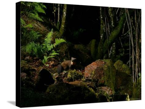 Pine Marten at Night, the Highlands, Inverness-Shire-Elliot Neep-Stretched Canvas Print