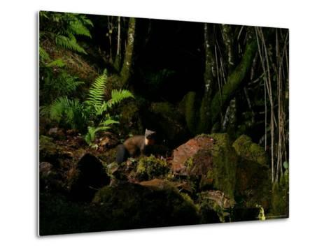 Pine Marten at Night, the Highlands, Inverness-Shire-Elliot Neep-Metal Print