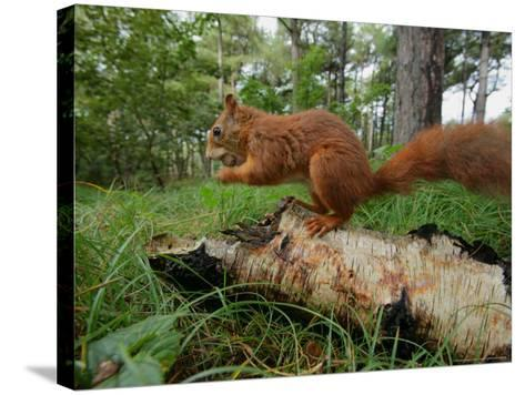 Red Squirrel, Eating, Lancashire, UK-Elliot Neep-Stretched Canvas Print