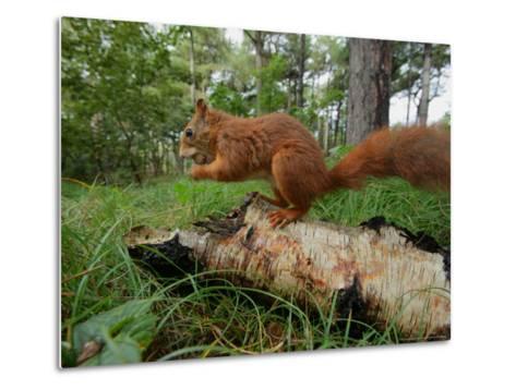 Red Squirrel, Eating, Lancashire, UK-Elliot Neep-Metal Print