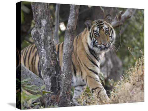 Bengal Tiger, Young Male Approaching from Around a Small Tree, Madhya Pradesh, India-Elliot Neep-Stretched Canvas Print