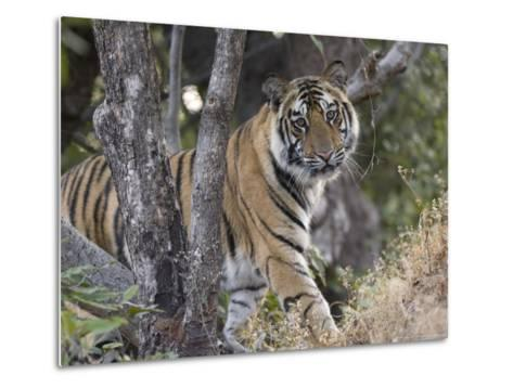 Bengal Tiger, Young Male Approaching from Around a Small Tree, Madhya Pradesh, India-Elliot Neep-Metal Print