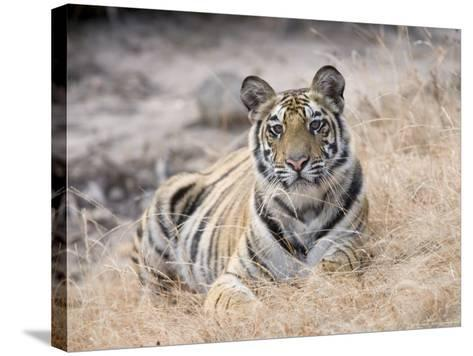 Bengal Tiger, Young Female Lying in Soft Grass, Madhya Pradesh, India-Elliot Neep-Stretched Canvas Print