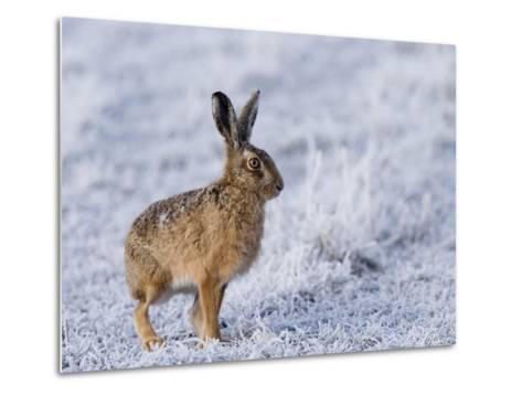 Common Hare, Standing in Haw-Frost Field, Lancashire, UK-Elliot Neep-Metal Print