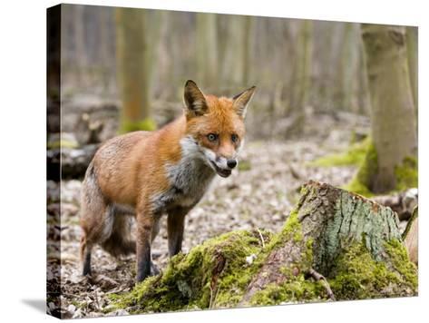 Red Fox, Alert Fox Standing Next to Fallen Tree, Lancashire, UK-Elliot Neep-Stretched Canvas Print
