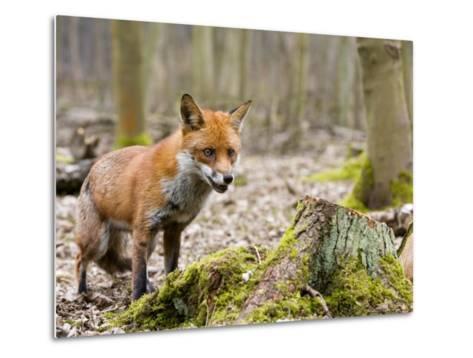 Red Fox, Alert Fox Standing Next to Fallen Tree, Lancashire, UK-Elliot Neep-Metal Print