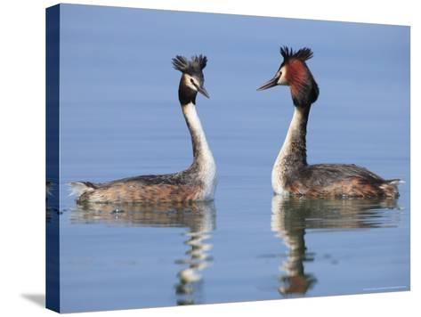 Great-Crested Grebes, Pair Courting, Lake Geneva, Switzerland-Elliot Neep-Stretched Canvas Print