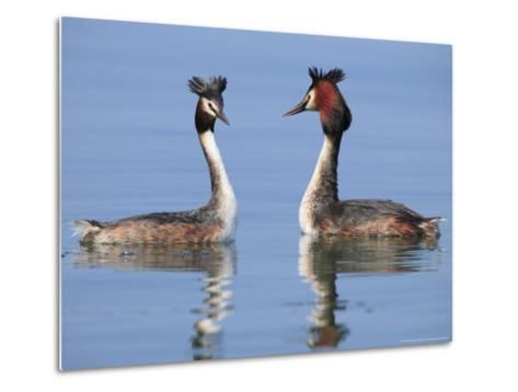 Great-Crested Grebes, Pair Courting, Lake Geneva, Switzerland-Elliot Neep-Metal Print