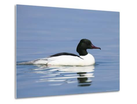 Goosander, Male on Water, Lake Geneva, Switzerland-Elliot Neep-Metal Print