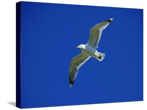 Lesser Black-Backed Gull in Flight, Pembrokeshire, UK-Elliot Neep-Stretched Canvas Print