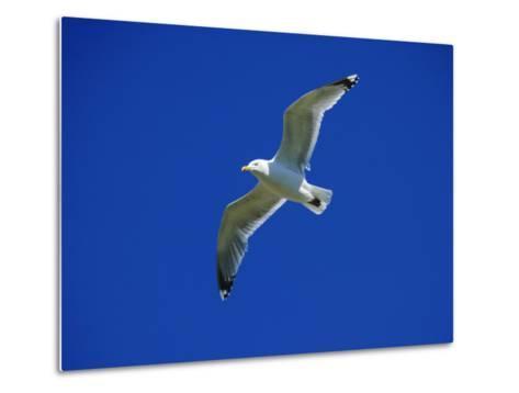Lesser Black-Backed Gull in Flight, Pembrokeshire, UK-Elliot Neep-Metal Print