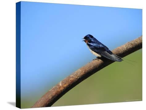 Swallow, Perched on Rusty Metal Pipe, Pembrokeshire, UK-Elliot Neep-Stretched Canvas Print