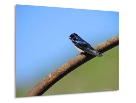 Swallow, Perched on Rusty Metal Pipe, Pembrokeshire, UK-Elliot Neep-Metal Print