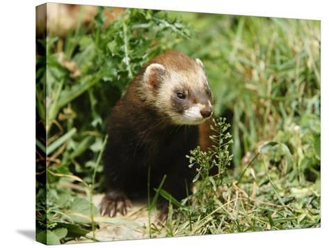 European Polecat in Low Vegetation, Sussex, UK-Elliot Neep-Stretched Canvas Print