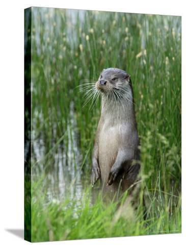 European Otter, Standing on Hind Legs at Waters Edge, Sussex, UK-Elliot Neep-Stretched Canvas Print